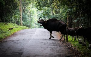 Bull india